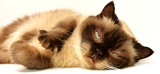 Грыжа у кошки