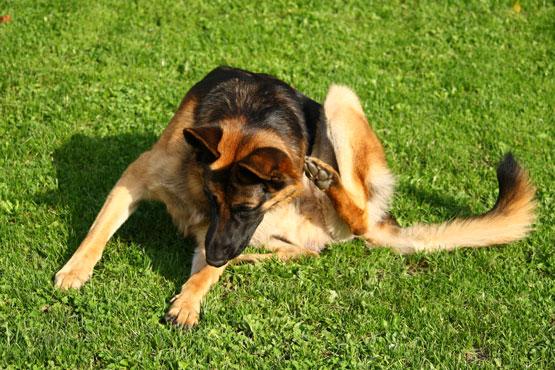 Описание власоедов у собак: что это такое и какой вид оно имеет на ...   370x555